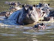Flusspferd in Botswana