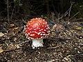 Fly agaric mushroom 20180919.jpg