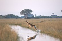 Botswana-Natur-Fil:Flying-female-Lechwe