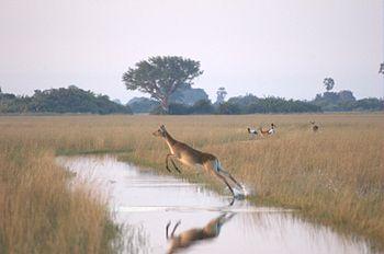 English: A female Lechwe (Kobus leche) jumping...