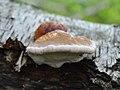 Fomitopsis pinicola 115379900.jpg