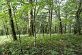 Forest in Doshi 08.jpg
