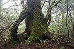 Forest in Yakushima 52.jpg