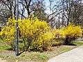 Forsythia in Zabrze, Poland, April 2021.jpg