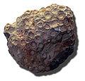 Fossil Hexagonaria mirabilis MHNL.jpg