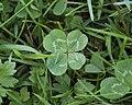 Four-leaf Clover Trifolium repens 2.jpg