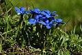 Frühlings Enzian Gentiana verna 10.JPG