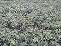Fragaria grandiflora (ananasa).jpg