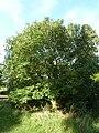 Fraxinus ornus (Oleaceae) plant.JPG