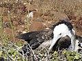 Frigatebirds - North Seymour Island - Galapagos Islands - Ecuador (4870514209).jpg