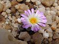Frithia pulchra05.jpg