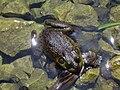 Frog by a pond.jpg