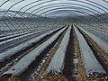 Fruit-farming, Wargrave - geograph.org.uk - 1048323.jpg