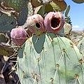 Fruits of Opuntia robusta.jpg