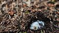 Fungus - Algonquin Provincial Park, Ontario 01.jpg