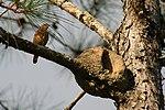 Furnarius rufus nest.jpg