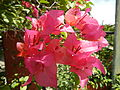 FvfSanJoseflowers9955 12.JPG