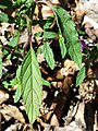 Galeopsis ladanum s. str. sl8.jpg