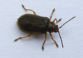 Galerucella nymphaeae 03.png