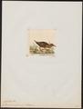 Gallinula griseofrons - 1820-1863 - Print - Iconographia Zoologica - Special Collections University of Amsterdam - UBA01 IZ17500213.tif