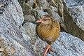 Gallirallus australis in Abel Tasman NP 07.jpg