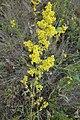 Gallium verum, Rubiaceae 04.jpg