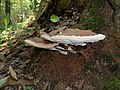 Ganoderma applanatum 2010 G1.jpg