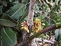 Garcinia livingstonei (1).jpg
