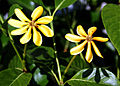 Gardenia tubifera (4458819678).jpg