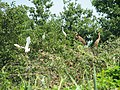 Garzaia in Lomellina, Lombardia, con aironi rossi, garzette, nitticore.jpg