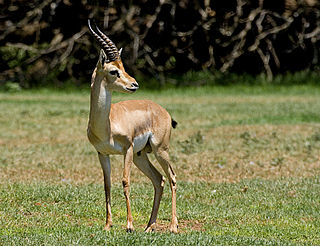Mountain gazelle species of mammal