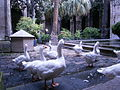 Geese at the Cathedral Cloister in Barcelona.JPG