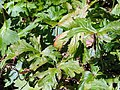 Geranium maculatum 0zz.jpg