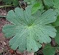 Geranium pyrenaicum 2 RF.jpg