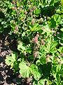 Geum triflorum 'purple avens' 2007-06-02 (plant).jpg