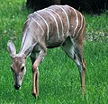 Gfp-lesser-kudu.jpg