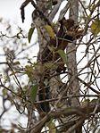 Giant Malabar Squirrel (1).jpg
