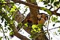 Giant Squirrel in Sri Lanka.jpg