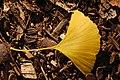 Ginkgo Tree Ginkgo biloba Leaf Right 3008px.jpg