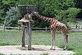 Giraffe (6019318847).jpg