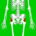 Gluteus minimus muscle05.png