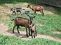 Goats in Slovenia (4757683258).jpg