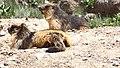 Golden-Marmot.jpg