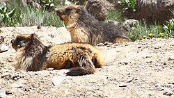 Two large, furry rodents resting on the ground
