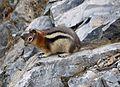 Golden-mantled Ground Squirrel. Spermophilus lateralis. Sciuridae - Flickr - gailhampshire (2).jpg