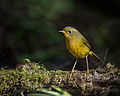 Golden Bush Robin.jpg