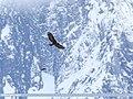 Golden Eagle (Aquila chrysaetos) (36497310911).jpg
