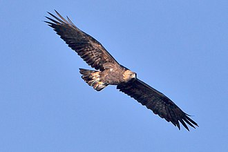 Aralar Range - Golden eagle