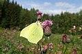 Gonepteryx rhamni (36027423333).jpg