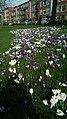 Gorechtkade crocus flowers, Groningen (2020) 04.jpg